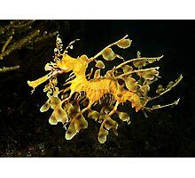 Leafy Seadragon (Phycodurus eques) Photographic Print