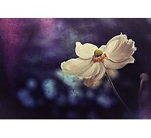 Oxford Anemone Photographic Print