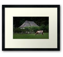 Ayrshire dairy cow Framed Print