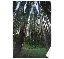 Giant forest trees Poster