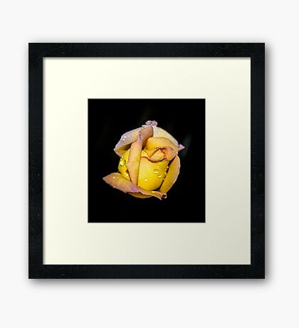 Rosebud and Dew Framed Print