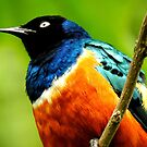 Superb Starling from Below by Barnbk02