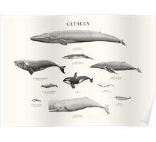 Cetacea Poster