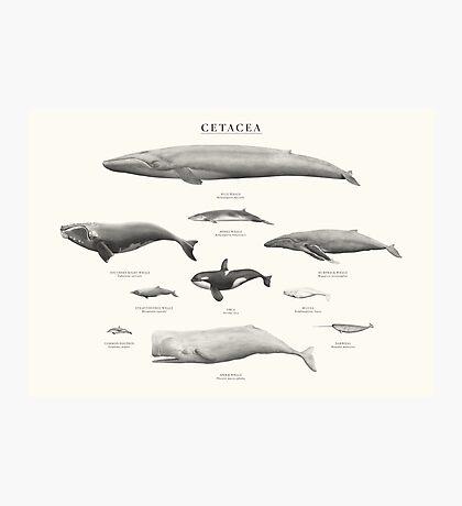 Cetacea Photographic Print