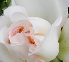 white roses by spetenfia