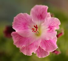 Pelargonium .. Spring Debut by Michael Matthews