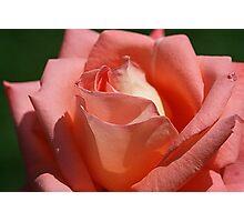 Rosy Tips Photographic Print