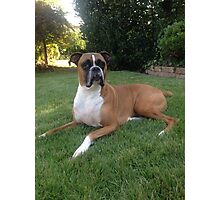 Boxer dog laying on a lawn Photographic Print