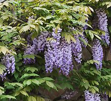 wisteria in spring by spetenfia