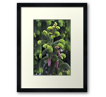 pine in the spring Framed Print
