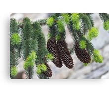 pine in the spring Canvas Print