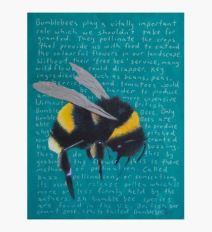 White tailed Bumblebee - Bombus Lucorum Photographic Print