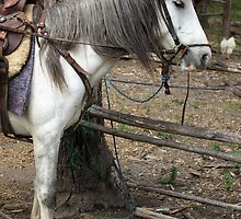 White Horse Tied to a Wood Rail by rhamm