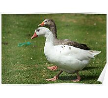 Domesticated Geese on a Farm Poster