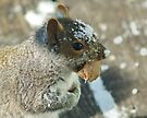 Squirrel with Brazil Nut by Barry Doherty