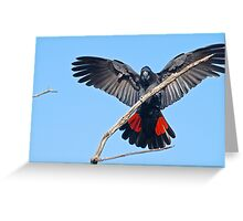 Male red tailed cockatoo, nearly mature Greeting Card