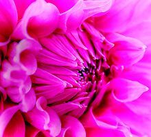Pink Petals by Vicki Spindler (VHS Photography)