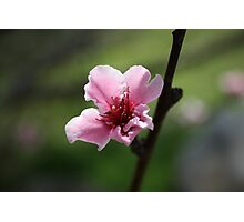 Another Cherry Blossom Photographic Print