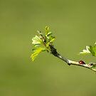Ladybug on green by shalisa