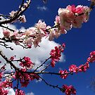 Cherry Blossom  by Cassie Robinson