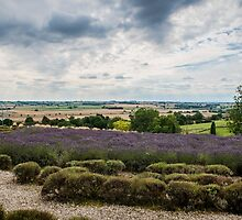 Yorkshire Lavender Pano by Colin Metcalf