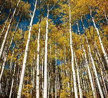 Grove of Autumn Aspen by Gary Gray
