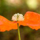 Poppy by OpalFire