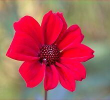 Red Dahlia by OpalFire