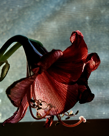 Faded Amaryllis by Barry Doherty