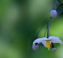 It's Good To Hang Out And Enjoy Life... *Solanum Flower* by Qnita
