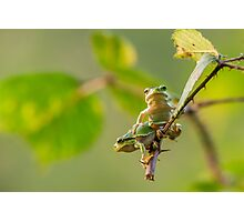 European Tree Frogs Hanging on a branch Photographic Print