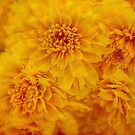 Yellow mums by Celeste Mookherjee