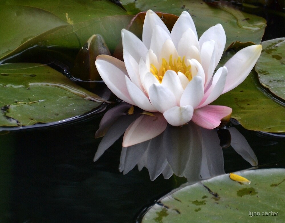 Water Lily by lynn carter