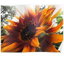 Decorative red sunflower Poster
