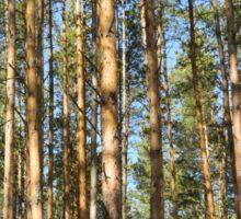 pine forest in the spring sunshine Sticker