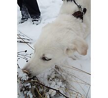 white dog something cheating in the snow Photographic Print