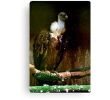 Vulture - old master Canvas Print