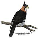 Ornate Hawk-eagle by Ken Gilliland