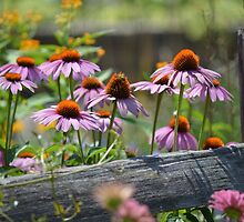 Coneflowers at the Fence by Chantel Riha