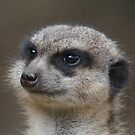 Portrait of a Meerkat by Dorothy Thomson