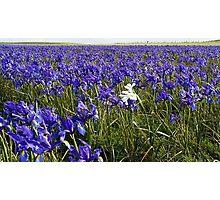 One White Iris Photographic Print