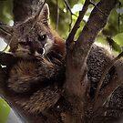 Grey Fox by Dennis Stewart