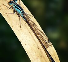 Damselfly on a Leaf by ChameleonImages