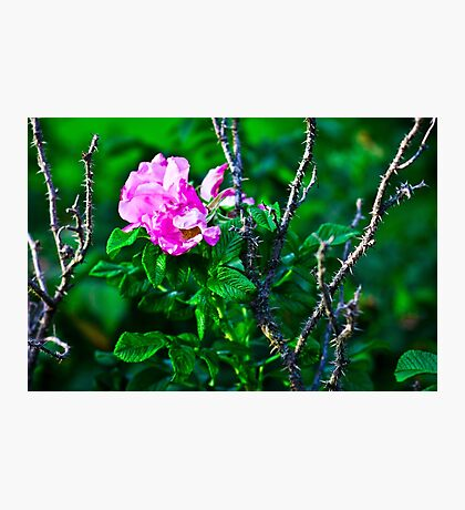 Protected Rose Photographic Print