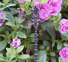 Dragonfly Visiting Petunias by Sandra Foster