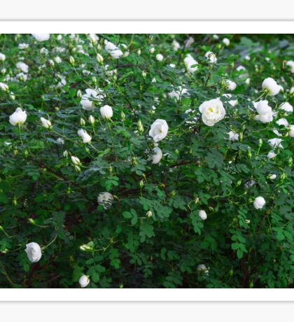 beautiful wild rose Bush with white flowers Sticker