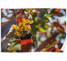 big bumblebee collects nectar from the flowers of the barberry close-up Poster