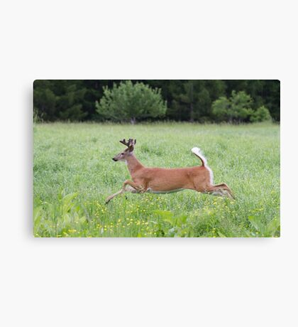 White-tailed deer in flight Canvas Print