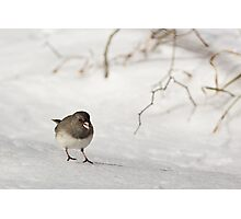 Dark-eyed Junco on Snow Photographic Print