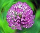 Pink Clover - Trifolium by Evelyn Laeschke